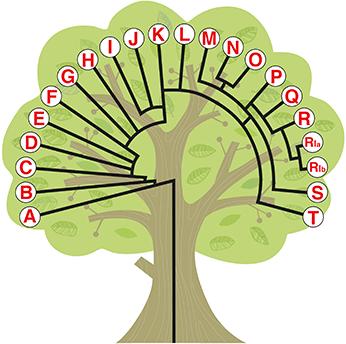 YDNA-trädbild-liten